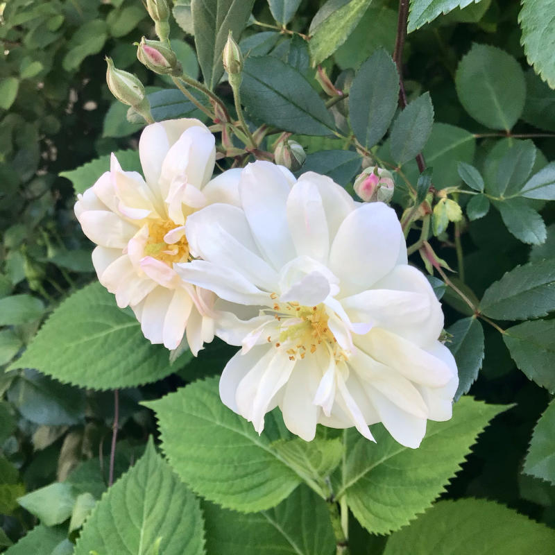 今日も咲き出したバラの紹介とお医者さんのブログの紹介 - バラやらナンやら