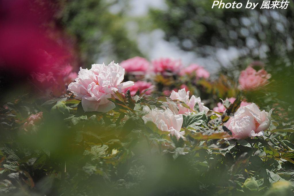 東松山ぼたん園に咲く牡丹の花_d0358854_08545407.jpg