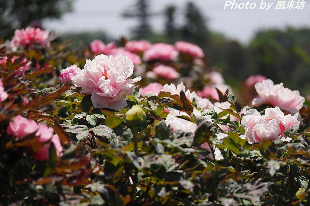 東松山ぼたん園に咲く牡丹の花_d0358854_08590542.jpg