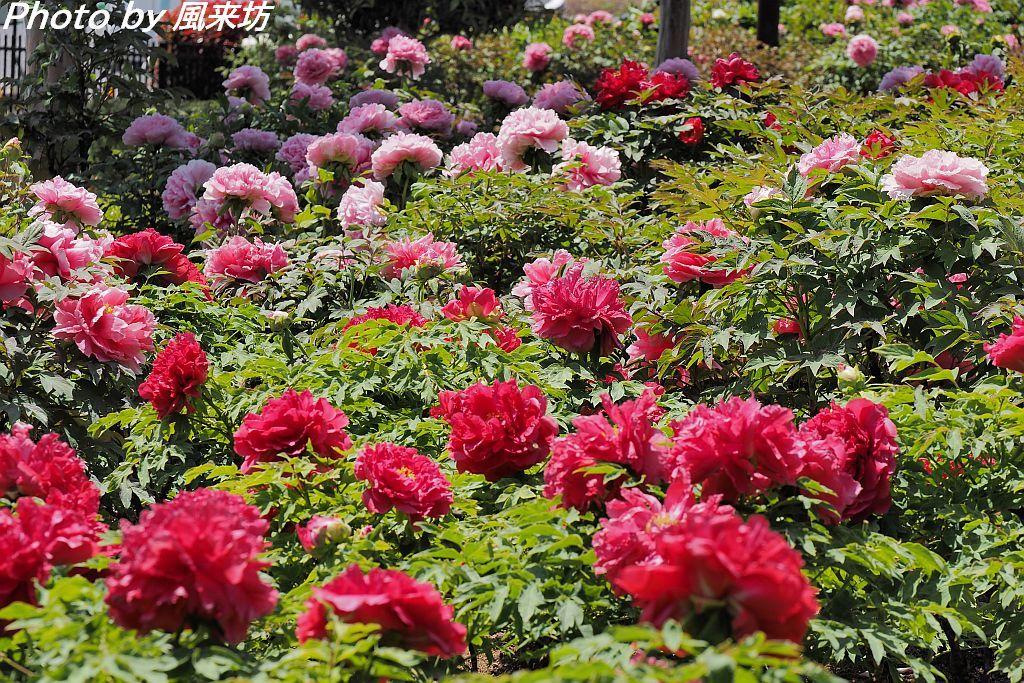 東松山ぼたん園に咲く牡丹の花_d0358854_08595689.jpg