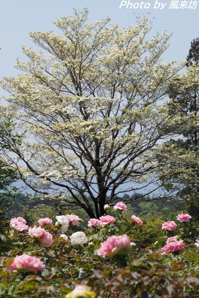 東松山ぼたん園に咲く牡丹の花_d0358854_09004654.jpg