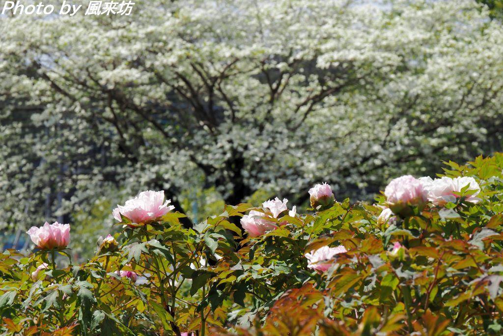 東松山ぼたん園に咲く牡丹の花_d0358854_09013607.jpg