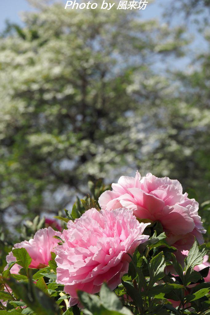 東松山ぼたん園に咲く牡丹の花_d0358854_09021944.jpg