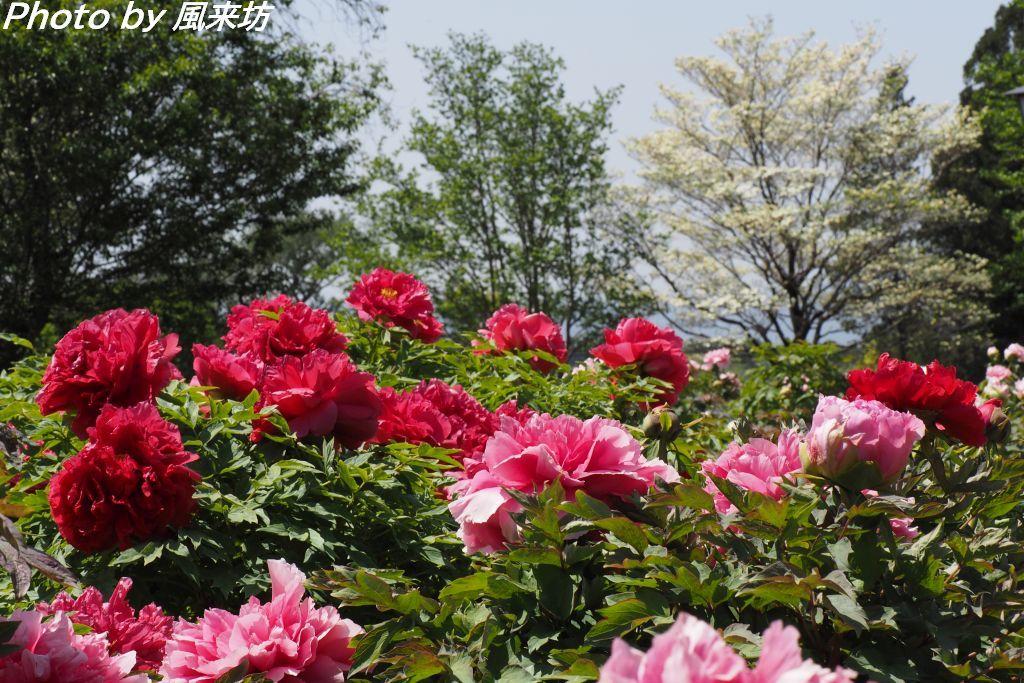 東松山ぼたん園に咲く牡丹の花_d0358854_09030411.jpg