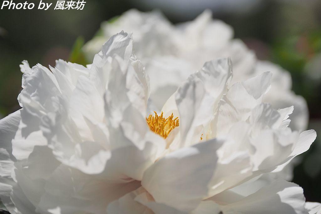 東松山ぼたん園に咲く牡丹の花_d0358854_09034282.jpg