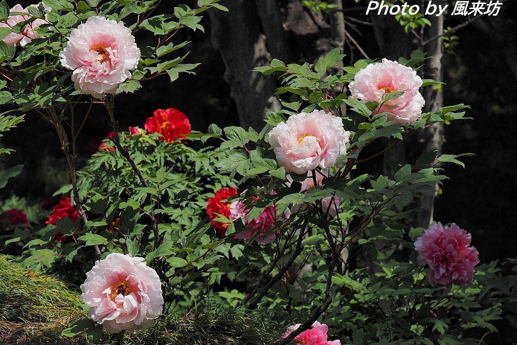 東松山ぼたん園に咲く牡丹の花_d0358854_09045627.jpg