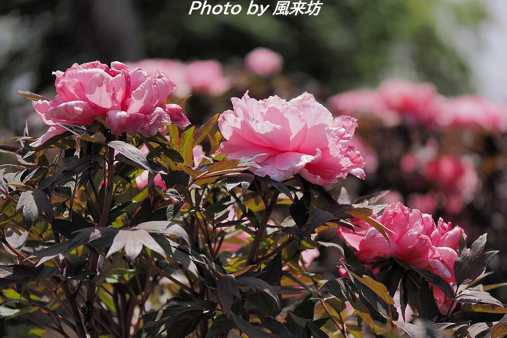 東松山ぼたん園に咲く牡丹の花_d0358854_09054503.jpg