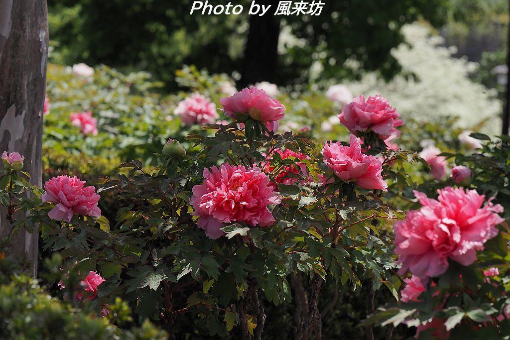 東松山ぼたん園に咲く牡丹の花_d0358854_09073443.jpg