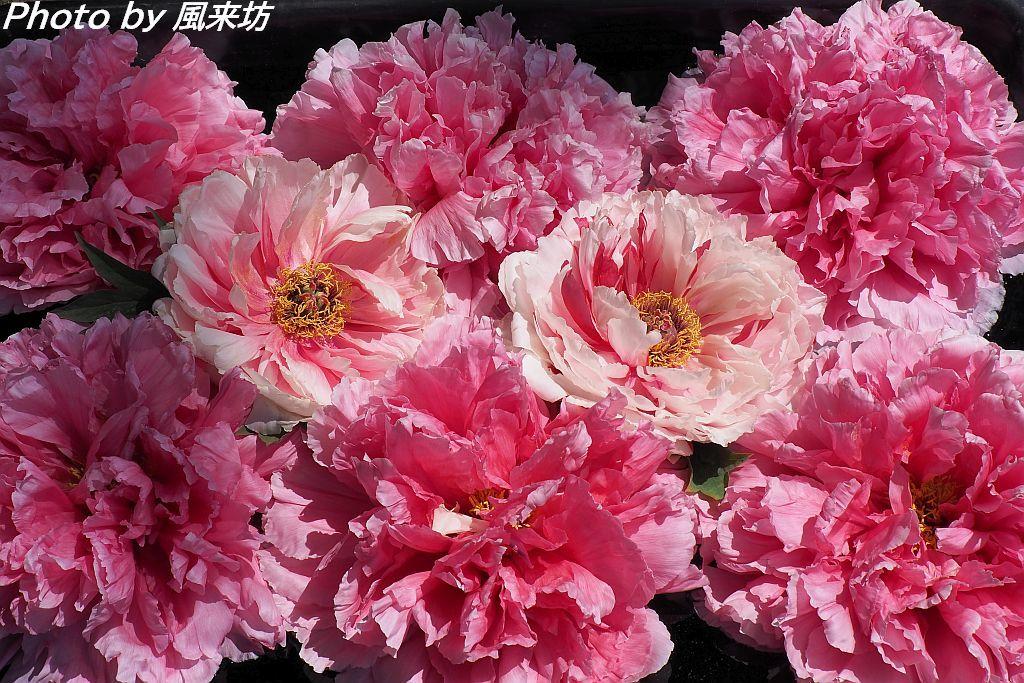 東松山ぼたん園に咲く牡丹の花_d0358854_09082079.jpg