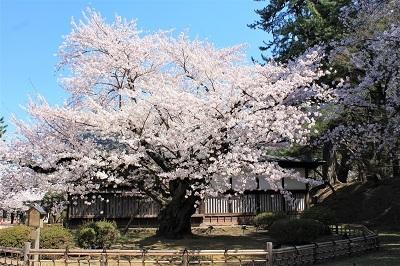 弘前公園桜_2021.04.21撮影_d0131668_18121300.jpg