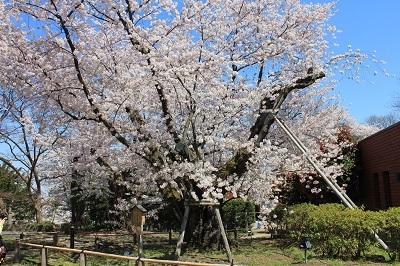 弘前公園桜_2021.04.21撮影_d0131668_18123728.jpg