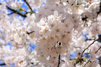 弘前公園桜_2021.04.21撮影_d0131668_18152021.jpg