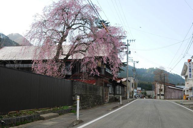 阿仁の桜はいつもより早く見頃です!🌸_f0048770_23591869.jpg