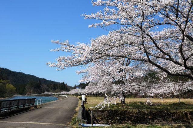 阿仁の桜はいつもより早く見頃です!🌸_f0048770_23592273.jpg