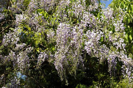 咲きほこる藤の花_b0145296_10065629.jpg