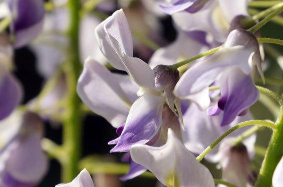 咲きほこる藤の花_b0145296_10070172.jpg