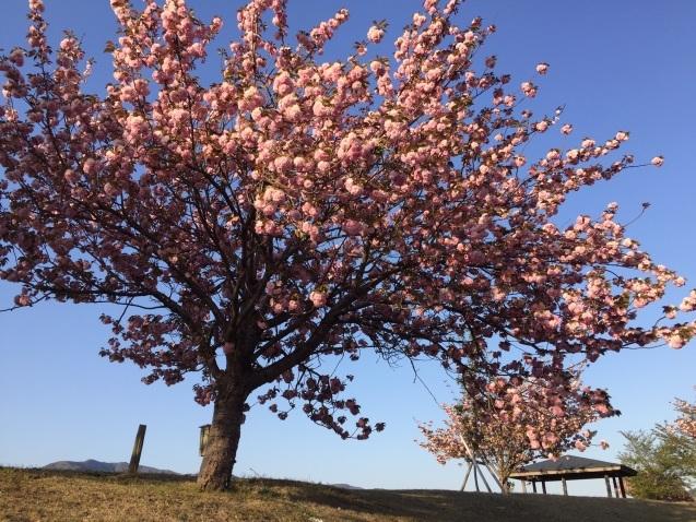 八重桜と鯉のぼり_a0236998_10270269.jpg