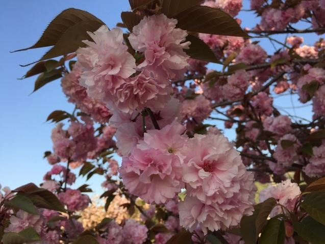 八重桜と鯉のぼり_a0236998_10272786.jpg