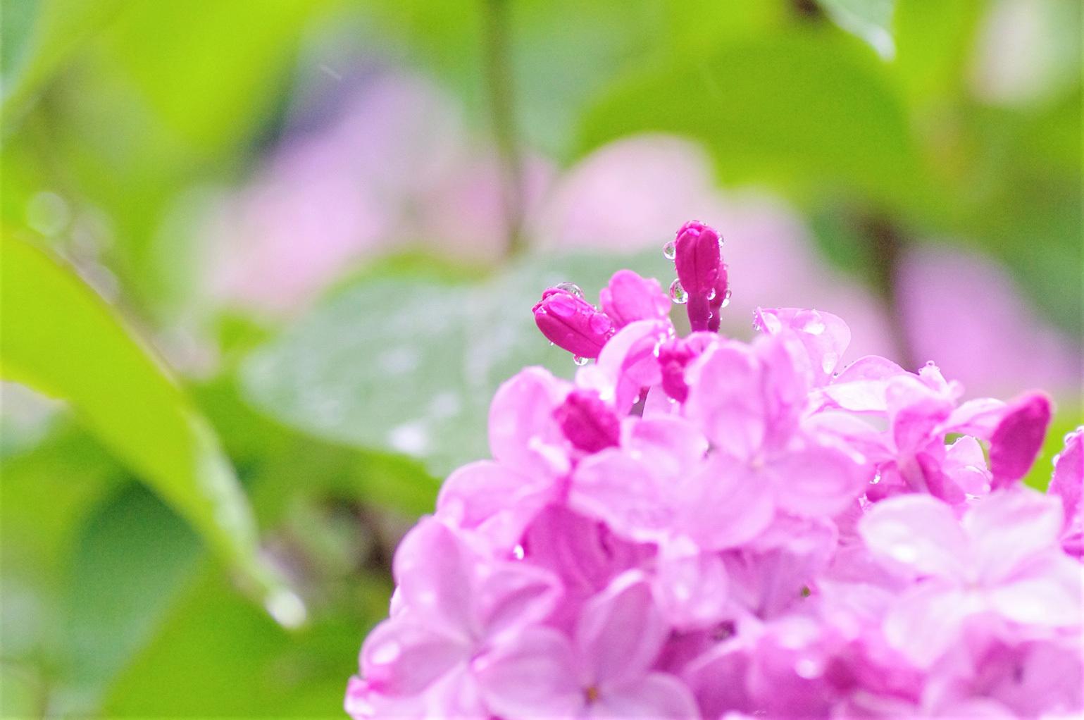 雨のライラックと紫蘭_e0291438_09454565.jpg