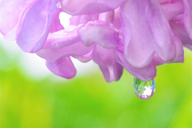 雨のライラックと紫蘭_e0291438_09482917.jpg