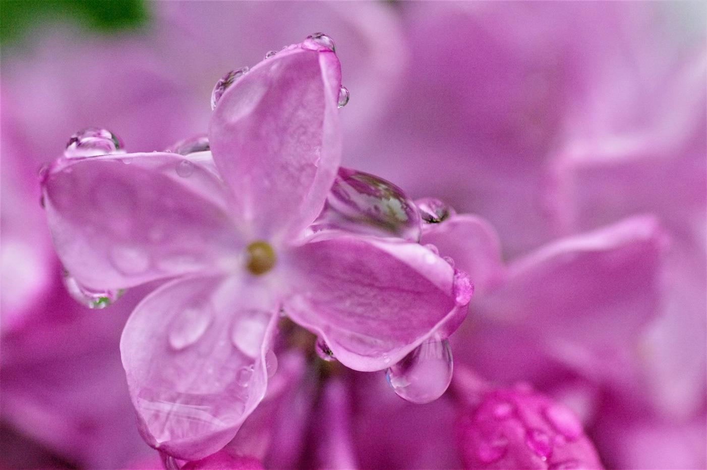 雨のライラックと紫蘭_e0291438_09511718.jpg
