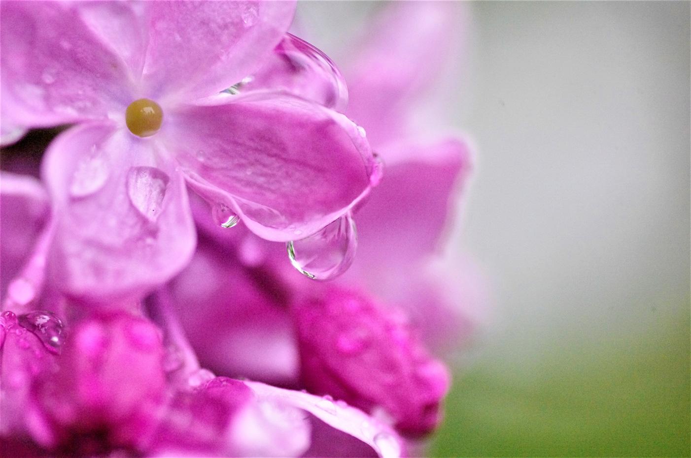 雨のライラックと紫蘭_e0291438_09521776.jpg