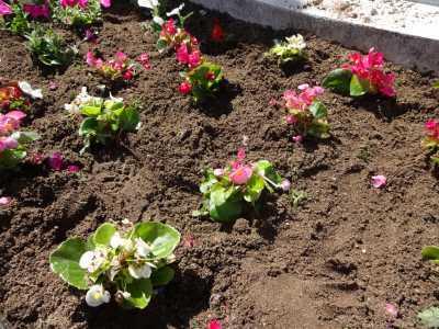 名古屋港水族館前花壇の植栽R3.4.7_d0338682_17504512.jpg