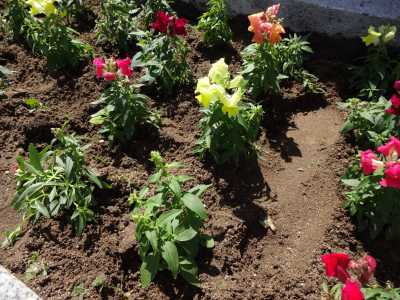 名古屋港水族館前花壇の植栽R3.4.7_d0338682_17510148.jpg