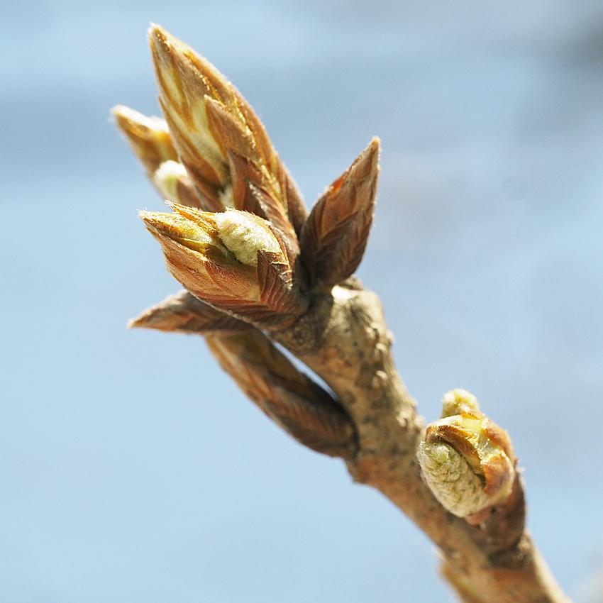 冬芽の展開(8) コナラ_d0163696_16244518.jpg