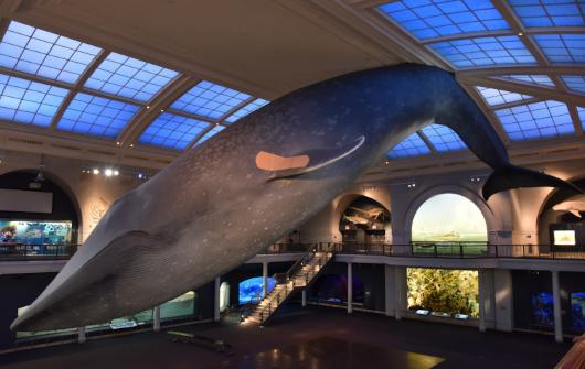 NYでは、巨大クジラの下でワクチン接種、自然史博物館の4人まで無料になる入場券ももらえちゃう?!_b0007805_21504989.jpg