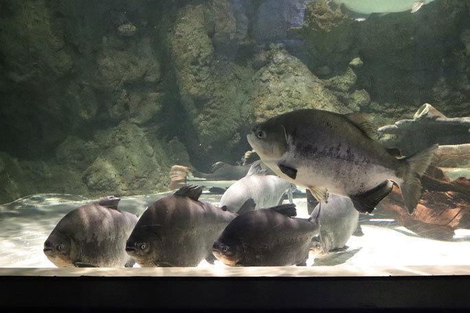 しながわ水族館「世界の大河から」②~コロソマたちは真ん前に集う(August 2020)_b0355317_21592443.jpg