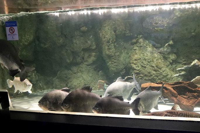 しながわ水族館「世界の大河から」②~コロソマたちは真ん前に集う(August 2020)_b0355317_22040672.jpg