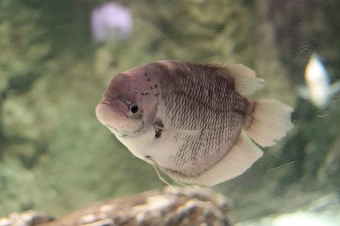 しながわ水族館「世界の大河から」②~コロソマたちは真ん前に集う(August 2020)_b0355317_22130201.jpg