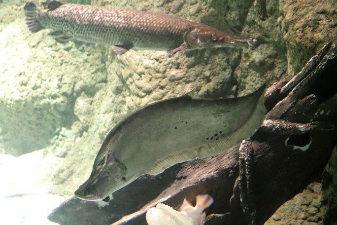 しながわ水族館「世界の大河から」②~コロソマたちは真ん前に集う(August 2020)_b0355317_22151535.jpg
