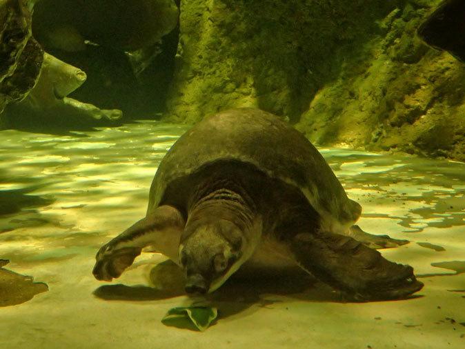 しながわ水族館「世界の大河から」②~コロソマたちは真ん前に集う(August 2020)_b0355317_22163142.jpg