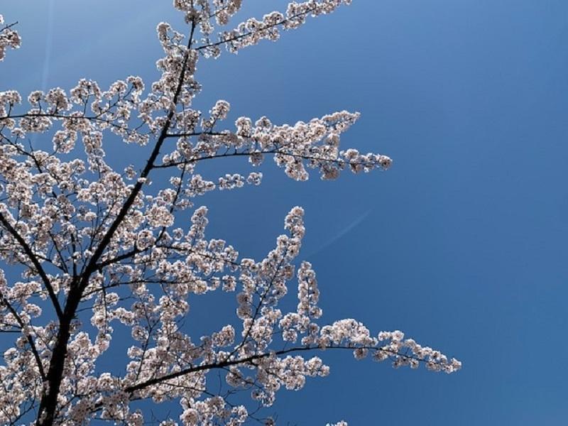 桜満開です_e0341538_13152504.jpg