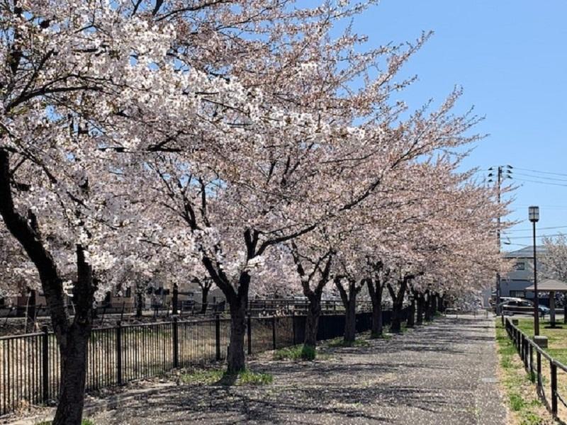 桜満開です_e0341538_13155568.jpg