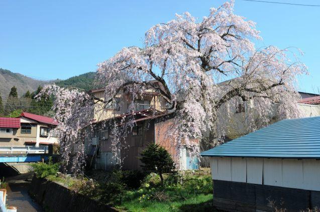 阿仁合の桜🌸は見頃[続]_f0048770_11444800.jpg