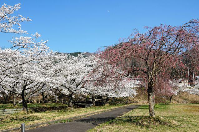 阿仁合の桜🌸は見頃[続]_f0048770_11452249.jpg