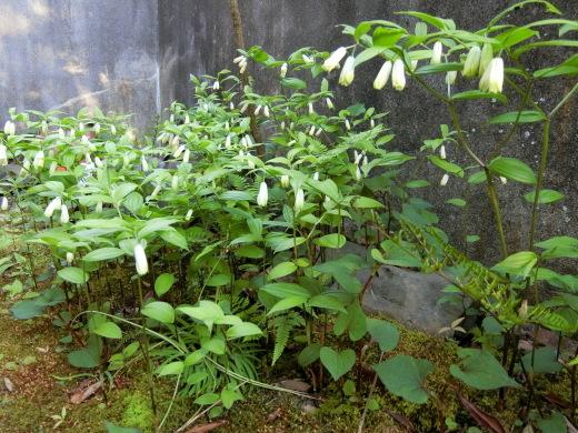 お庭の隅に咲く花_f0226671_21461127.jpg
