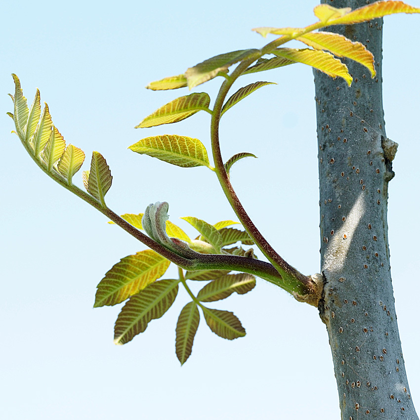 冬芽の展開(9) ヌルデ_d0163696_17115140.jpg