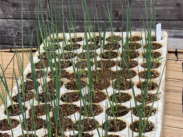 今朝は 長ネギの仮植の畝作りです_c0222448_14585149.jpg