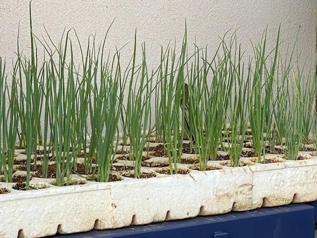 今朝は 長ネギの仮植の畝作りです_c0222448_14590734.jpg