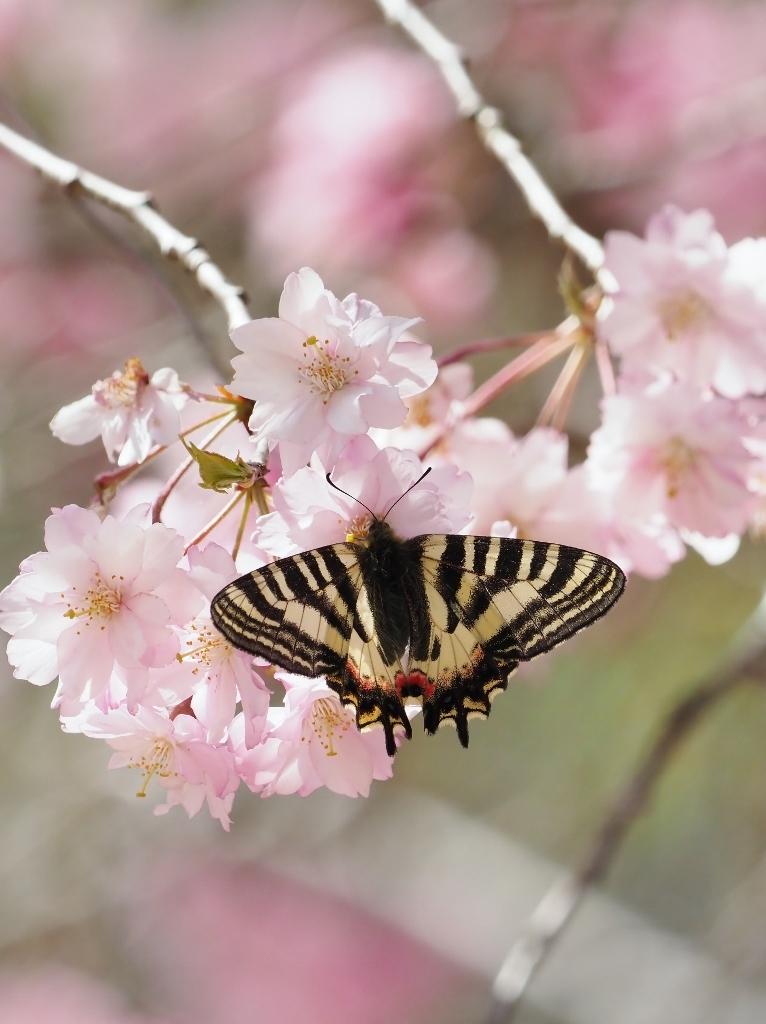 桜に集まるヒメギフチョウほか_e0224357_21361966.jpg
