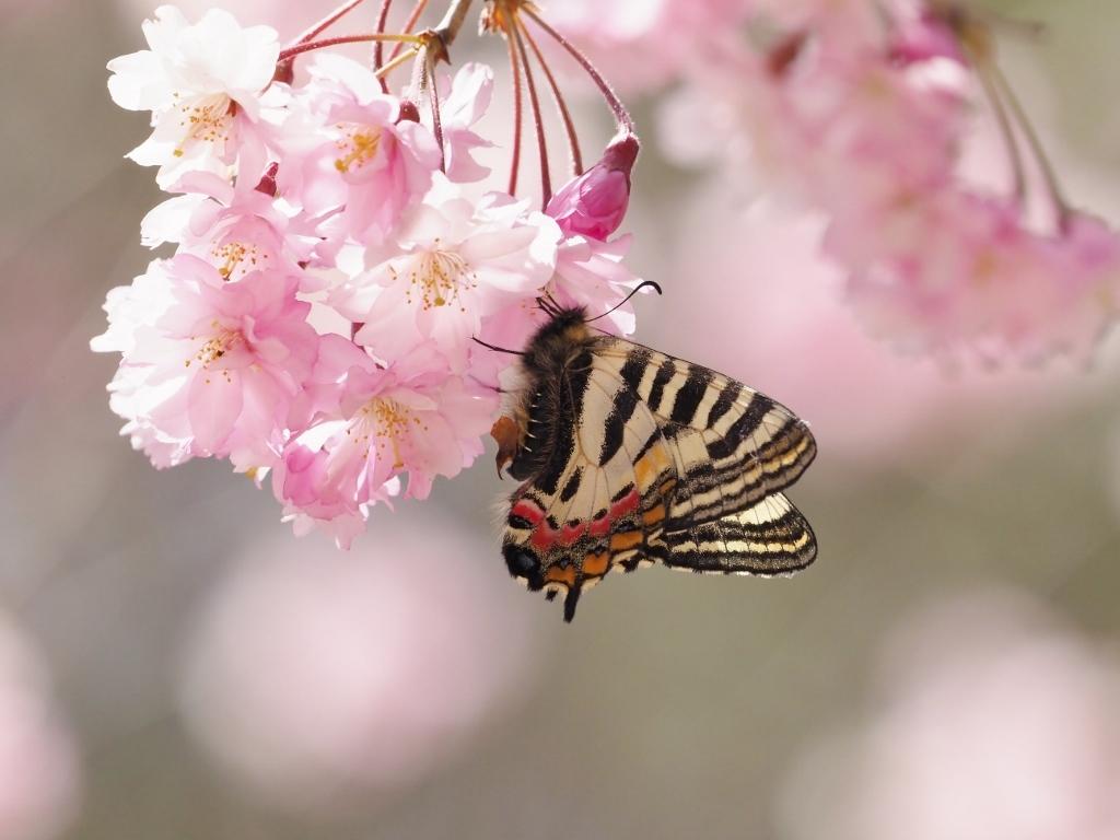 桜に集まるヒメギフチョウほか_e0224357_21370083.jpg