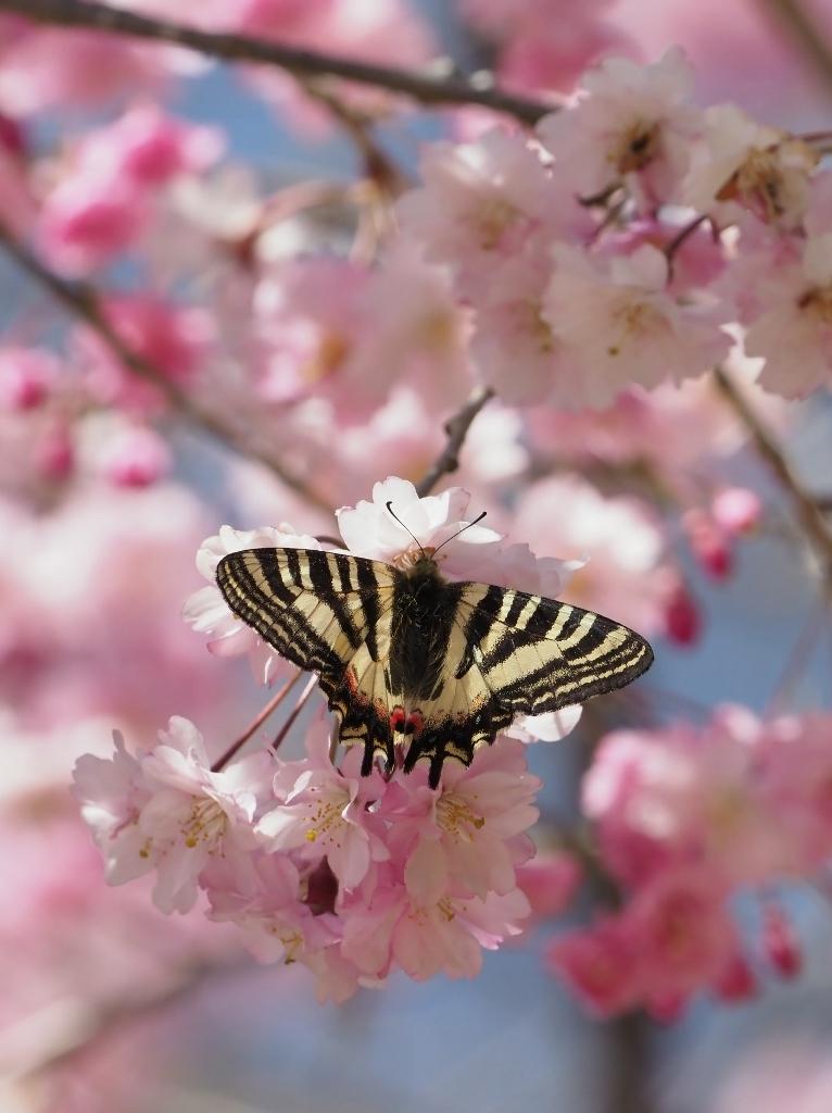 桜に集まるヒメギフチョウほか_e0224357_21373500.jpg