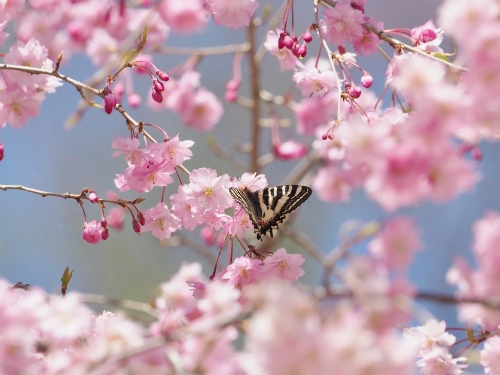 桜に集まるヒメギフチョウほか_e0224357_21400067.jpg