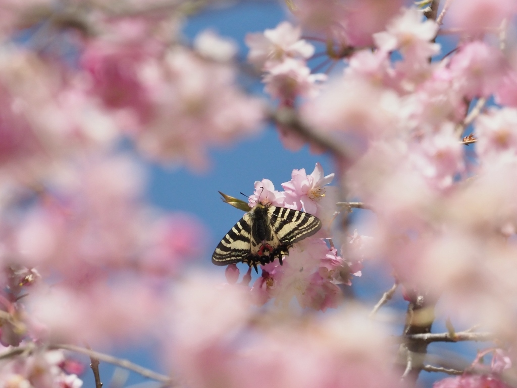 桜に集まるヒメギフチョウほか_e0224357_21412967.jpg