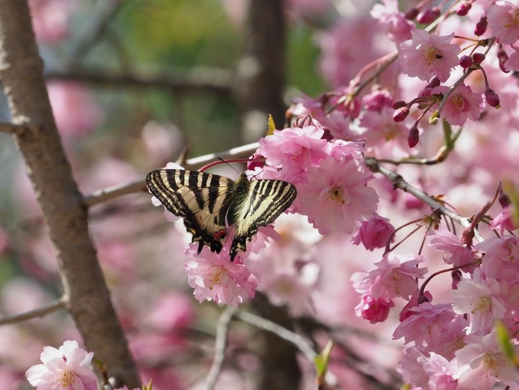 桜に集まるヒメギフチョウほか_e0224357_21421244.jpg