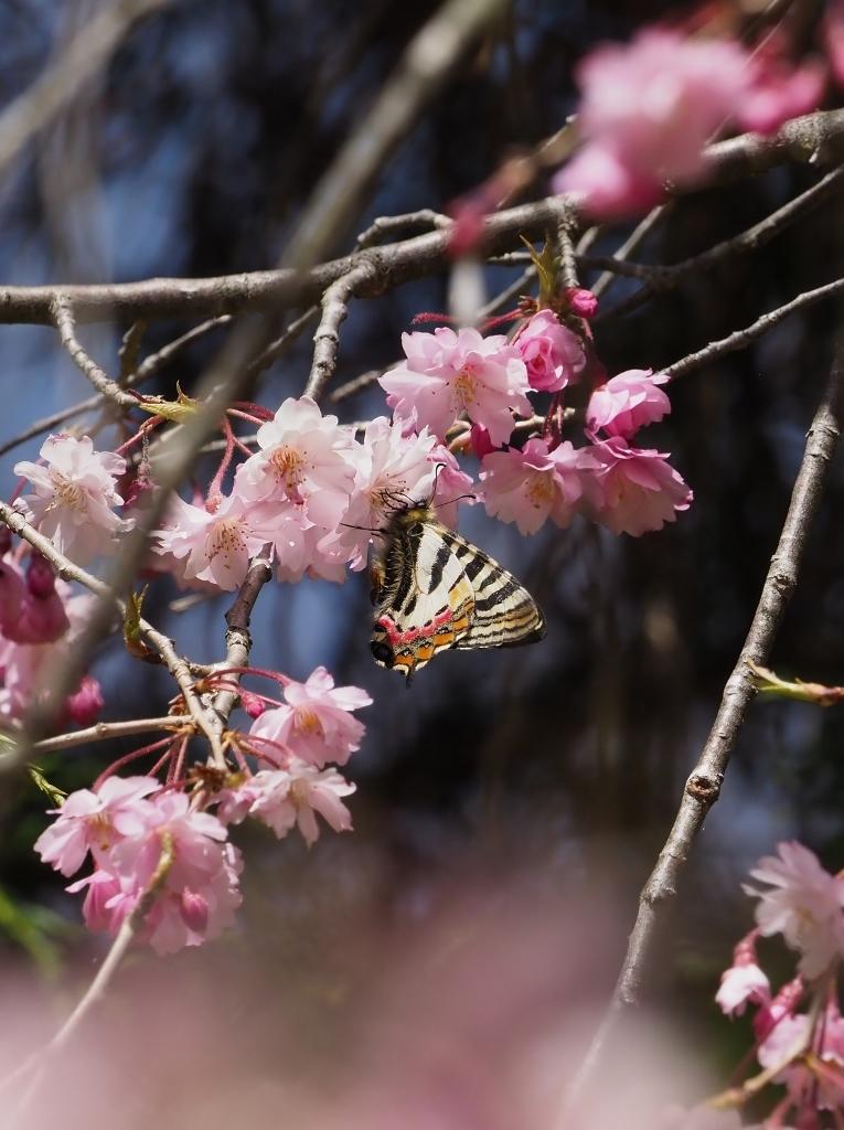 桜に集まるヒメギフチョウほか_e0224357_21435655.jpg